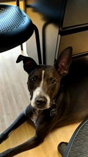 #pitbullmix #dogtraining #DogTrainingLeesburg #SpeakDog #FearAggression #DogsOfBarkBusters