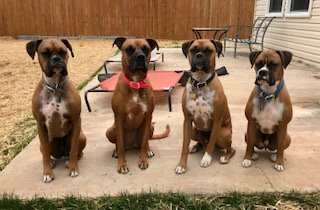 #DogTrainingSterling #SiblingRivalry #DogAggression #Barking #NoJumping #DogsOfBarkBusters #Boxers