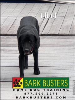 #poodletraining #BarkBustersNorthernVirginia #SpeakDog #PuppyTrainingNearMe #PuppyTrainingAshburn #DogsOfBarkBusters #StandardPoodle