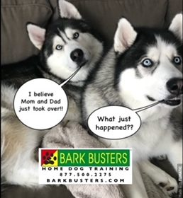 #BarkBustersNorthernVirginia #DogTrainingNearMe #DogTrainingChantilly #SpeakDog #Anxiety #SiberianHusky