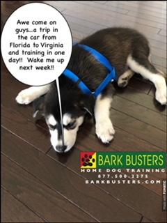 #BarkBustersNorthernVirginia #SpeakDog #PuppyTrainingNearMe #PuppyTrainingAldie #DogsOfBarkBusters #GoberianPuppy