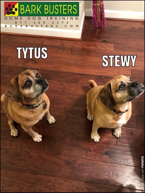 #BarkBustersNorthernVirginia #DogTrainingNearMe #DogTrainingAshburn #DogsOfBarkBusters #SpeakDog #FearAggression #DogAggression #Puggles