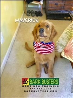 #BarkBustersNorthernVirginia #PuppyTrainingNearMe #PuppyTrainingOakton #DogsOfBarkBusters #GoldenRetrieverPuppy
