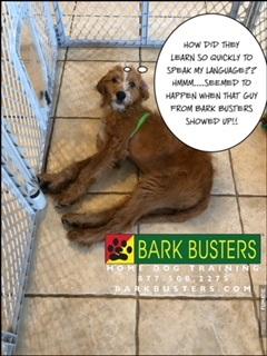 #BarkBustersNorthernVirginia #PuppyTrainingNearMe #PuppyTrainingAshburn #DogsOfBarkBusters #GoldenDoodlePuppy