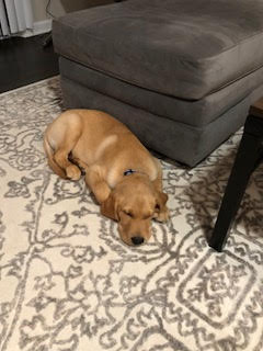 barkbustersnorthernvirginia #speakdog #puppytrainingashburn #labgoldenmix