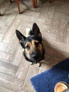 #dogtraining #dogtrainingashburn #dogsofbarkbusters #germanshepherdhuskychowmix