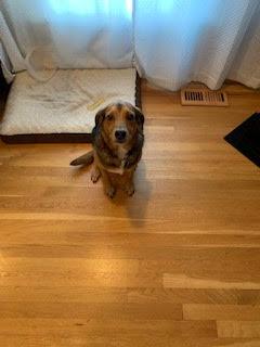 #beaglemixtdograining #dogtrainingashburn