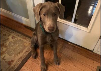 #barkbustersnorthernvirginia #dogsofbarkbusters #speakdog #puppytraining #puppytrainingnearme #puppytrainingleesburg #silverlabpuppy
