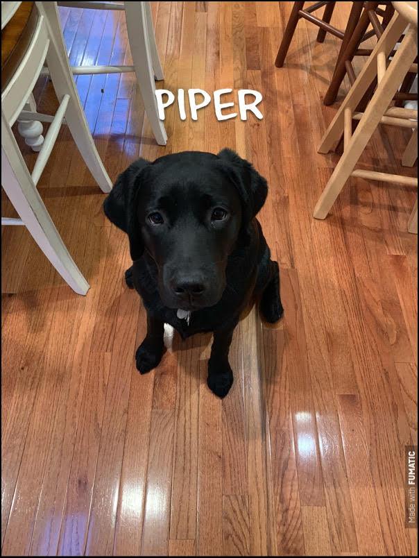 #barkbustersnorthernvirginia #speakdog #puppytraining #dogsofbarkbusters #labradorretriever #labpuppy