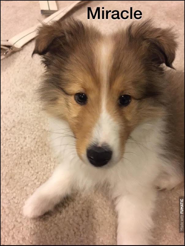 #shetlandsheepdog #shetlandsheepdogpuppy #sheltie