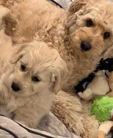 #dogtrainingashburn #puppytraining #siblingrivalry #minigoldendoodle #minigoldendoodlepuppy