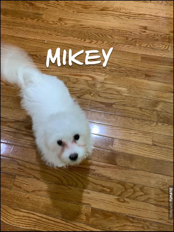 #puppytraining #puppytrainingashburn #obedience #puppy #maltese #maltesepuppy