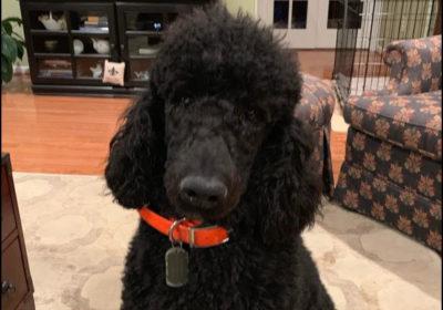 #barkbustersnorthernvirginia #leashreactivity #speakdog #dogtraining #dogtrainingashburn #dogsofbarkbusters #standardpoodle