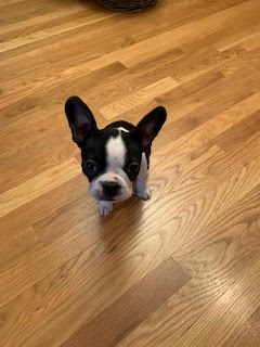 #puppytraining #puppytrainingoakton #bostonterrier #bostonterrierpuppies