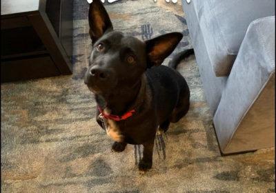 #labmix #rescuedog #dogtraining #dogtrainingashburn #dogsofbarkbusters