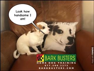 #chihuahuadogtraining
