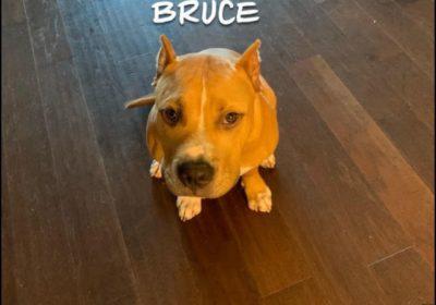 #americanbulldogpuppy