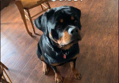 #dogtrainingoakton #oaktonva #rottweiler