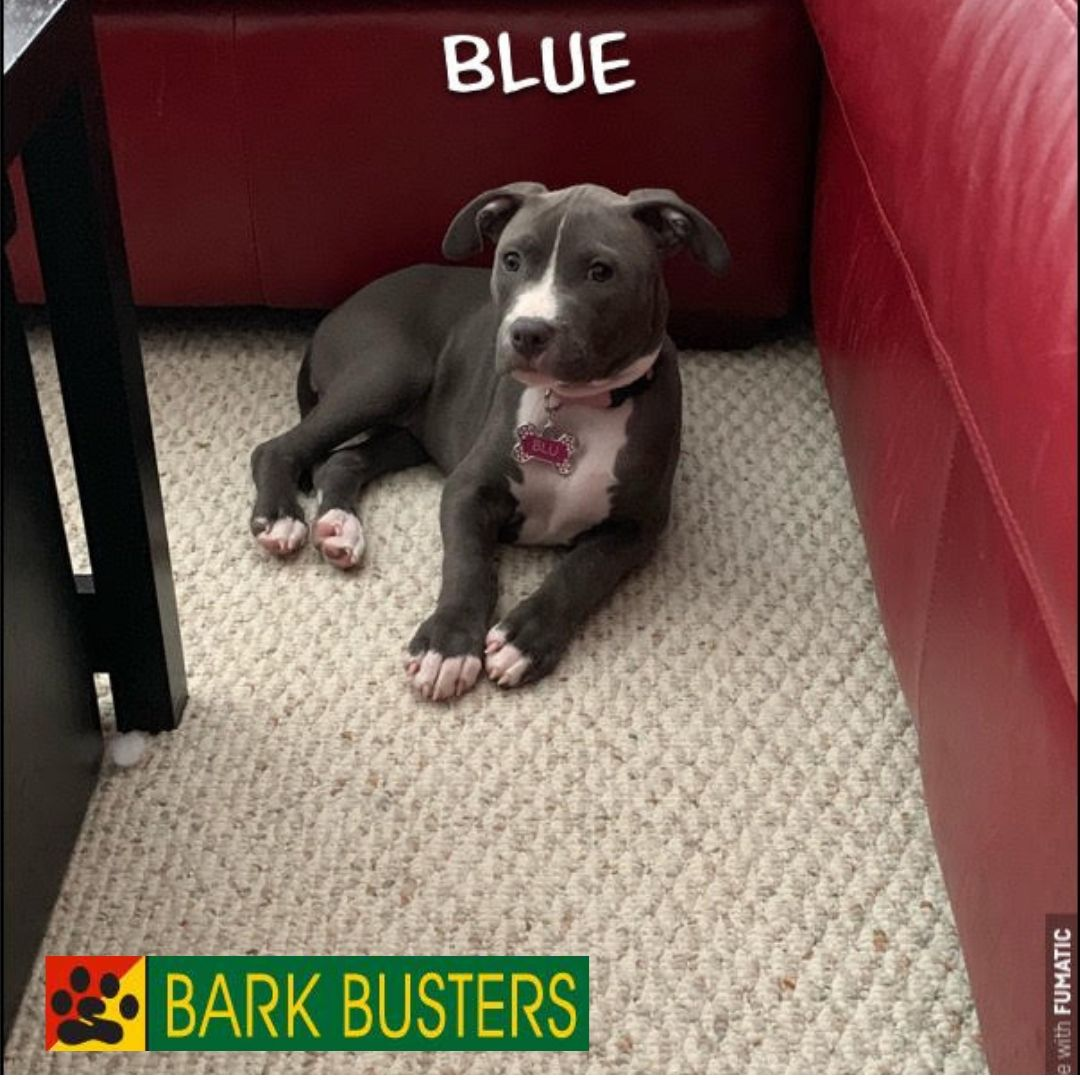 #bluenosepitbulltraining