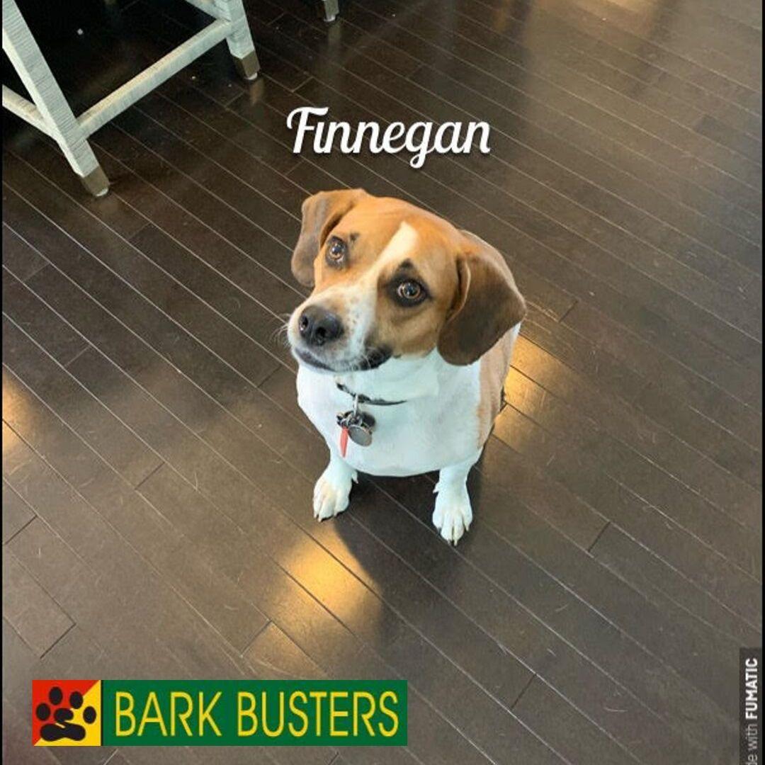 #beagledogtraining