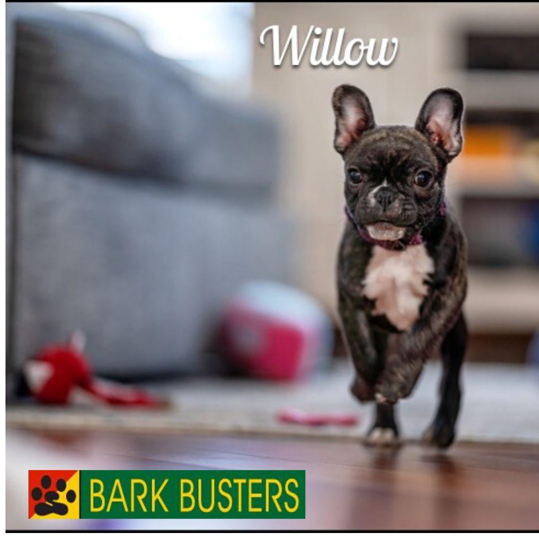 #bulldogtraining
